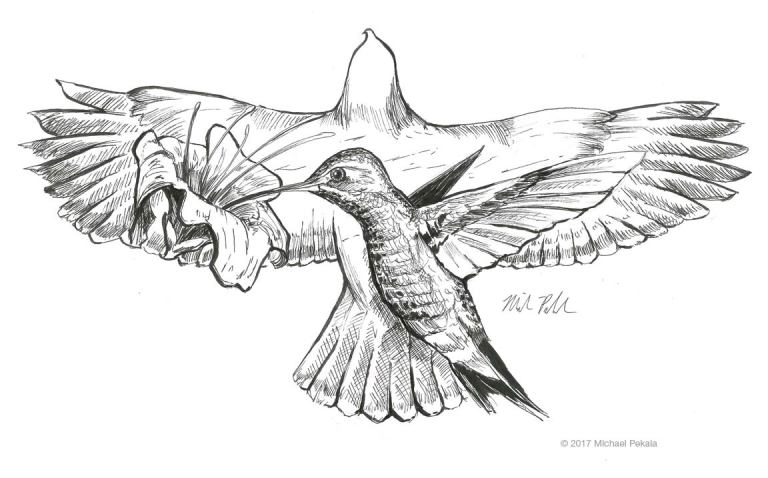 Hawk and Hummingbird pen and ink illustration
